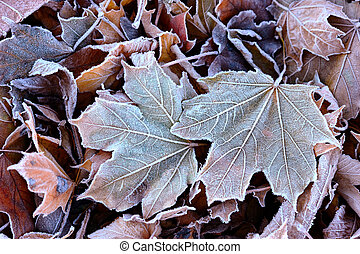 葉, 霜, 落ちている