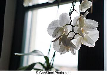 蘭, 白い花, 窓台, 大きい, ポット, 窓。