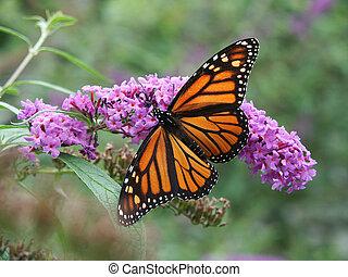 蝶, 君主, 花, 野生
