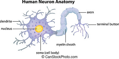 解剖学, ニューロン, 人間