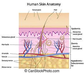 解剖学, 人間の皮膚