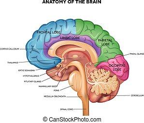 解剖学, 人間の頭脳