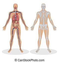 解剖学, 人間, 人