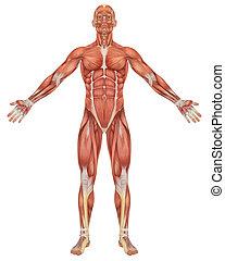 解剖学, 前部, マレ, 筋肉, 光景