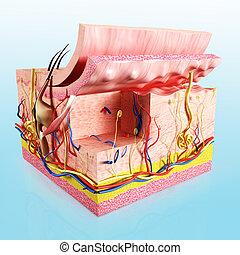 解剖学, 層, 人間の皮膚