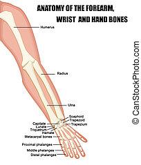 解剖学, 手首, 骨, 前腕, 手