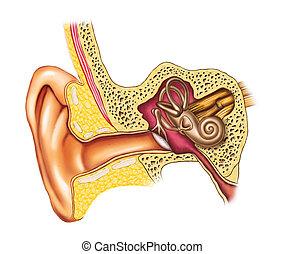 解剖学, 耳