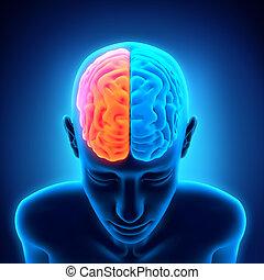 解剖学, 脳, 人間