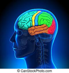 解剖学, 脳, -, 色