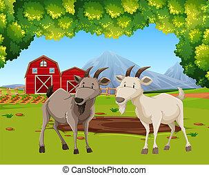 農場, ヤギ, 現場, 2