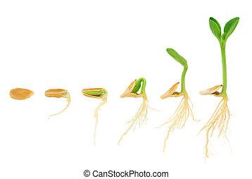 進化, 概念, 連続, 隔離された, 植物, 成長する, カボチャ