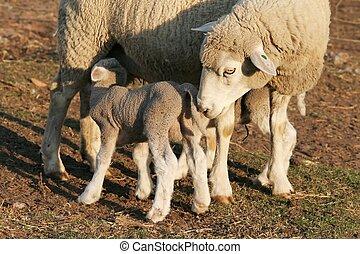 雌羊, sheep, 子羊