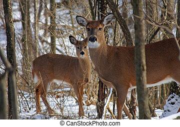 雌鹿, white-tail, 鹿