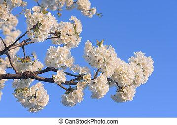 青, 桜の木, 空