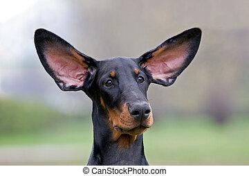 飛行, 黒い犬, 耳
