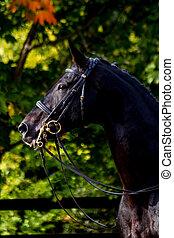 黒, 肖像画, スポーツ, dressage, 馬