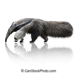 anteater, 巨人