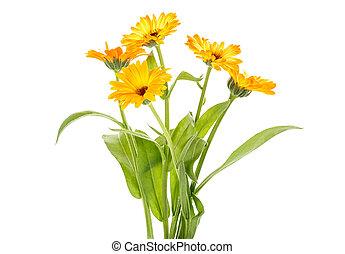 bouquet., 隔離された, バックグラウンド。, calendula, 白い花