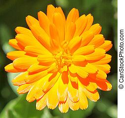 calendula, マリーゴールド, -, officinalis