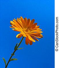 calendula, 青い空, に対して, 背景