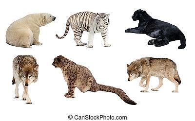carnivora, 上に, 隔離された, セット, mammal., 白