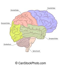 diagram., カラフルである, 器官, 部分, 解剖学, 脳, ベクトル, 人間, ビュー。, 側, design.
