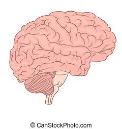 diagram., 器官, カラフルである, 解剖学, 脳, ベクトル, 人間, ビュー。, 側, design.