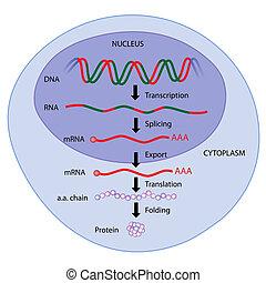 eps8, 表現, 遺伝子