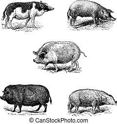 essex., ポーク, 1., ノルマン, 型, レース, race., 豚, 4., siam., ブタ, ブタ, york., 5., 2., engraving., szalonta, 3.