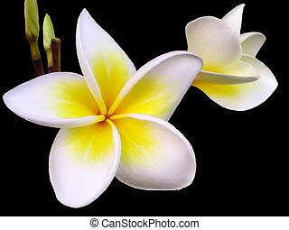 frangipani, 花