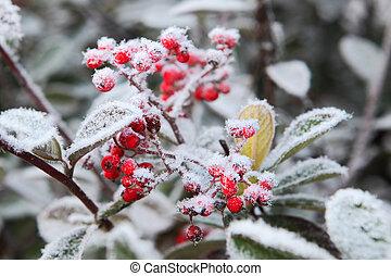 frost., 北, italy., 霜, 下に, ピードモント, ベリー