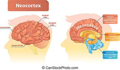 illustration., neocortex, ベクトル, ラベルをはられた, functions., 図, 位置