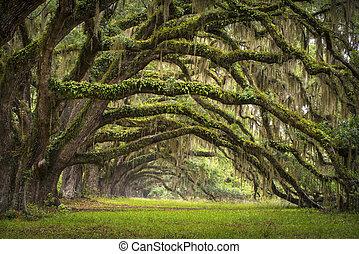 lowcountry, エース, 風景, オーク, 木, プランテーション, 生きている, 森林, sc, チャールストン, カシ, 大通り, 洗面器, サウスカロライナ