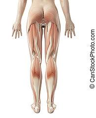 musculature, 女性, 足