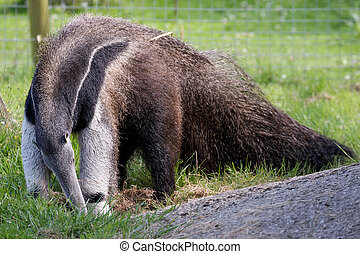 (myrmecophaga, 巨人, triductyla), anteater
