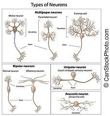 neurons, タイプ