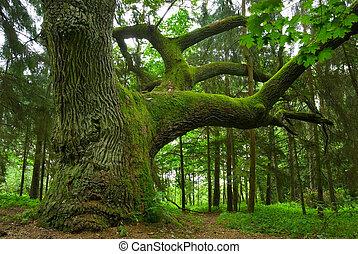 oak., 大きい
