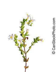 officinalis), (euphrasia, eyebright