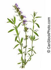officinalis), (hyssopus, hyssop