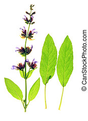 officinalis), (salvia, セージ