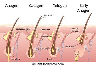 phases., catagen, 人間, 成長, 毛, 生物学である, infographics., telogen, cycle., 頭