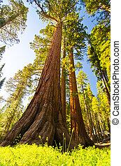 sequoia, 巨人, 公園, 国民, yosemite
