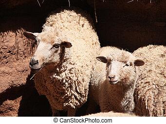 sheep, パドック, 若い