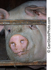 snout, 肖像画, 豚