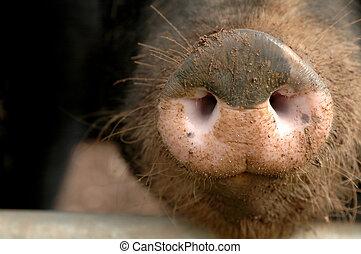 snout, 豚