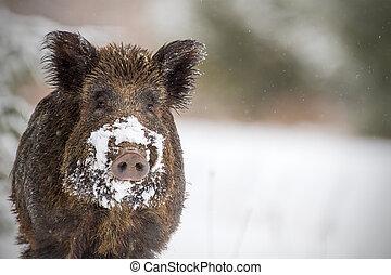snout, 雄豚, 野生, 雪
